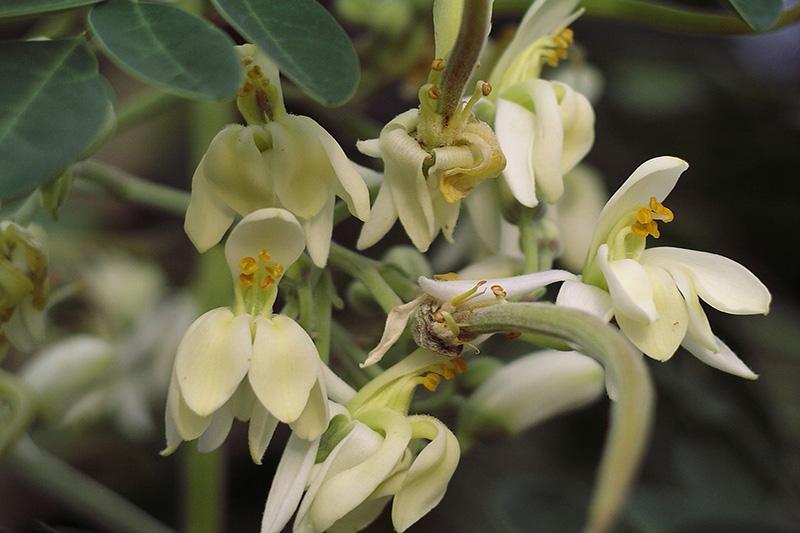 Plantes Médicinales - Moringa