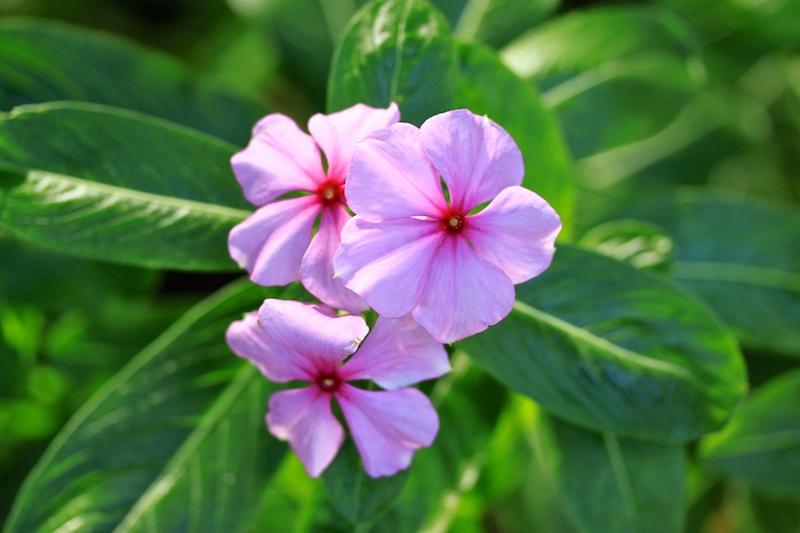 Plantes médicinales - Pervenche