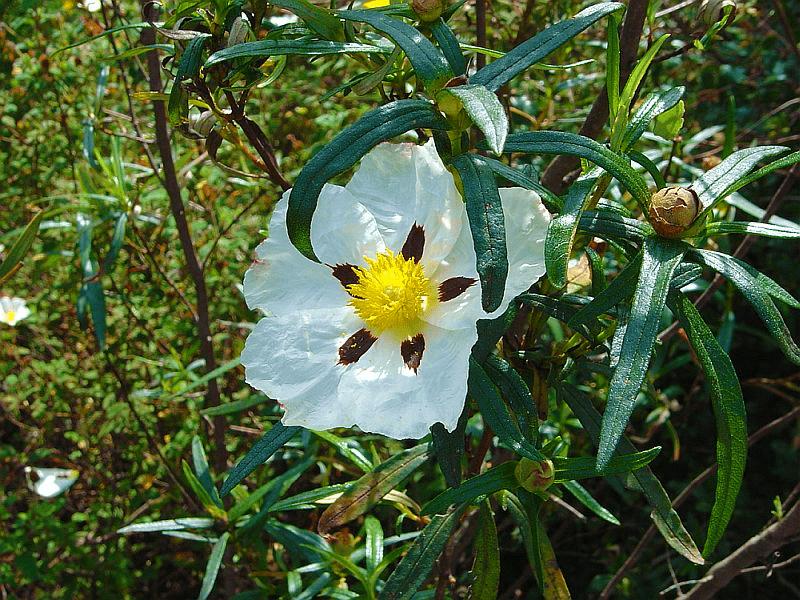 Ciste-Ladanifère-Fleur