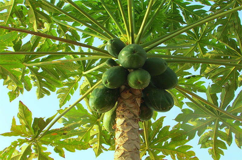 Huiles végétales - Papayes