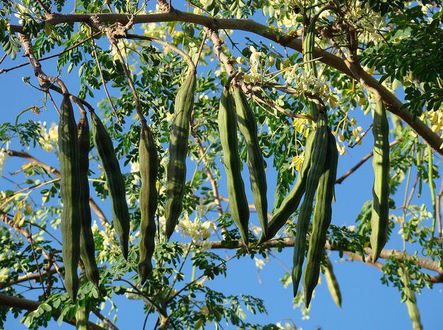 Huile Végétale de Moringa