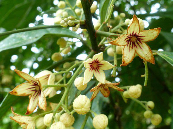 Fleur de Kolatier