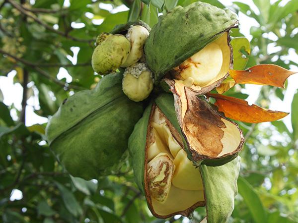 Fruits de Kolatier